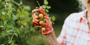 An-evidenced-based-approach-to-prevention-of-dementia-banner-cherry-tomatos